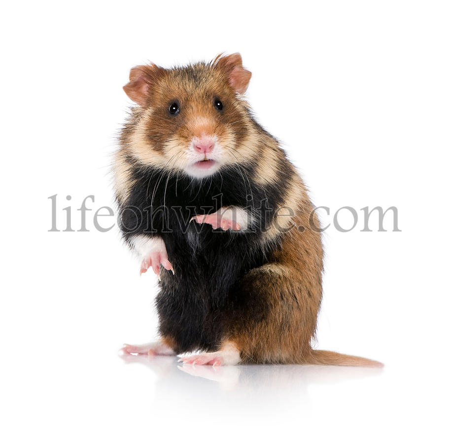 Portrait of European Hamster, Cricetus cricetus, against white background, studio shot
