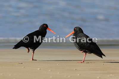 Two dark morph Variable Oystercatchers (Haematopus unicolor) facing each other while standing on one leg, Otama Beach, North ...