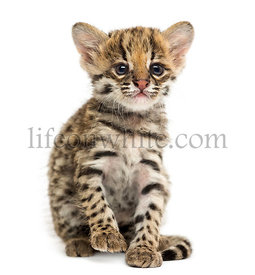 Front view of an Oncilla sitting, Leopardus tigrinus, 5 weeks old, isolated on white