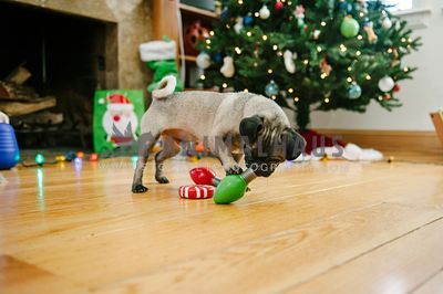 A pug playing with a toy in front of the Christmas Tree