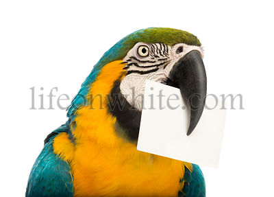 Close-up of a Blue-and-yellow Macaw, Ara ararauna, 30 years old, holding a white card in its beak in front of white background
