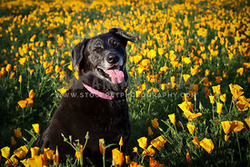 Happy Black Lab Mutt Sitting in Field of Orange and Yellow Poppy Wildflowers in Summertime