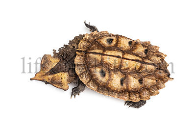 Top view of a Mata Mata, turtle, Chelus fimbriata, isolated on white