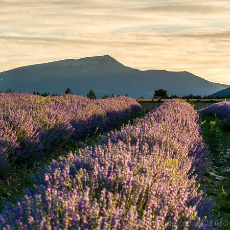 Lavender dawn in Provence