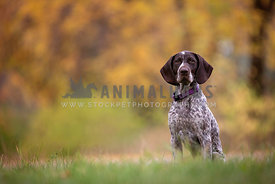 A pointer sitting with a colourful autumn background