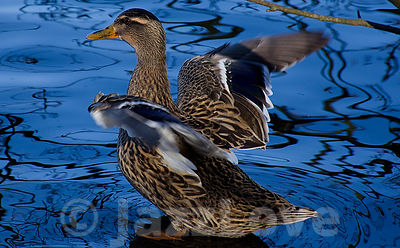 Mallard_duck_standing_in_blue_water_and_spreading_its_wings