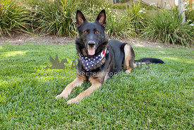 Handsome German Shepherd in American Flag Bandana Sitting in the grass at the park