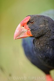 TAKAHE PORPHYRIO MANTELLI, TIRI MATANGI ISLAND NORTH ISLAND NEW ZEALAND