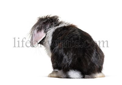 Shaggy Back view of a Black and white Lop Rabbit, isolated on white