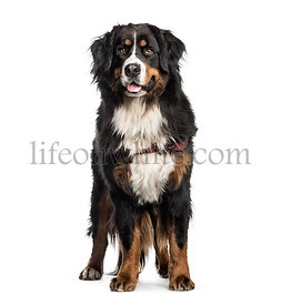 Bernese Mountain Dog, 2 years old, in front of white background