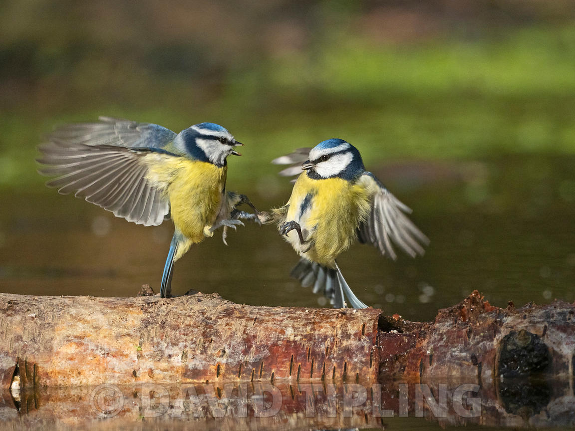 Blue Tit Cyanistes caeruleus fighting in garden Norfolk February