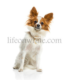 Papillon (2 years old)