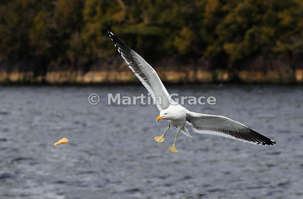 Southern Black-Backed Gull (Larus dominicanus dominicanus) flying in pursuit of kitchen scraps, Doubtful Sound, Fiordland Nat...