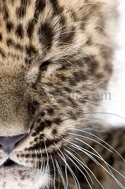 close-up on a closed eye of a Persian leopard Cub (6 weeks)