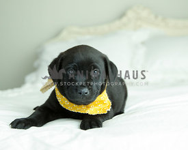 Solid black lab puppy with yellow bandana rests on white bed
