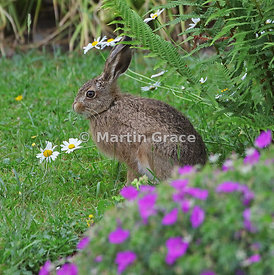 Young European Brown Hare (Lepus europaeus) grazing near a pink-flowered garden cranesbill (Geranium sp) and Oxeye Daisy (Leu...