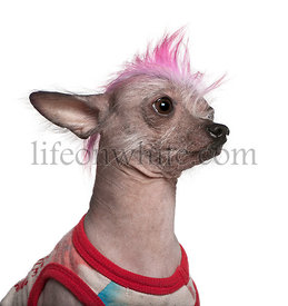 Punk dressed Chinese Crested Dog, 4 years old, in front of whit