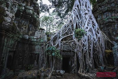 Famous tree with big roots, Angkor Wat, Cambodia