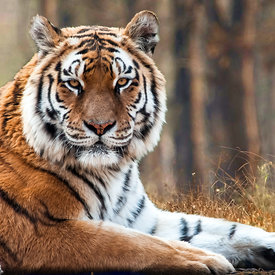 Test photo tigre