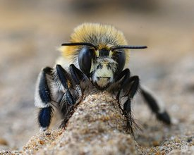 Facial closeup of a male of the hairy-footed flower bee , Anthophora plumipes