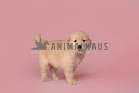 tiny golden retriever puppy standing on pink paper background