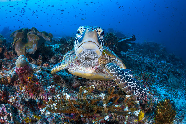 Face to face with a green turtle