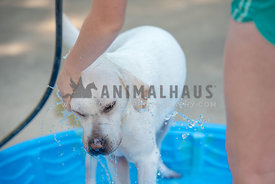 white labrador getting bathed with a hose