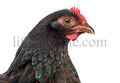 Barnevelder double-laced Hen isolated on white