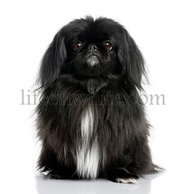 Black Pekingese (6 years old)