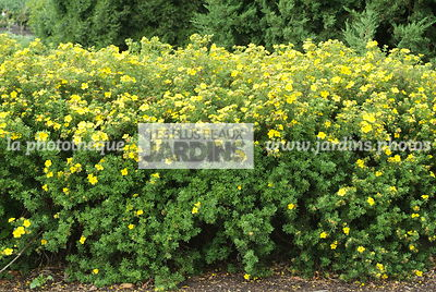 Potentilla fruticosa 'Goldfinger'. Haie. Hollande
