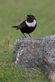 Ring Ouzel (Turdus torquatus) male, perching on a lichen-covered rock and showing the distinctive white half-moon crescent on...