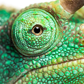 Eye close-up on a Jackson's horned chameleon, Trioceros jacksonii looking at camera against white background