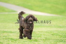 happy, large dark brown doodle running through the grass