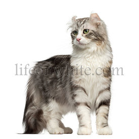 American Curl standing, isolated on white