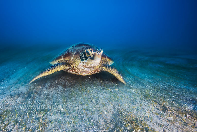 Sea Turtle: Green Turtle