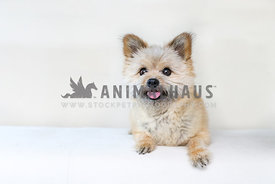 small terrier mixed breed on a white background