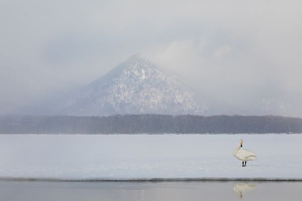 Whooper In Winter I