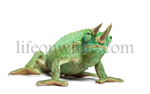 Front view of Jackson's horned chameleon, Trioceros jacksonii, isolated on white against white background