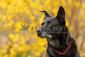 A senior black dog against yellow flowers