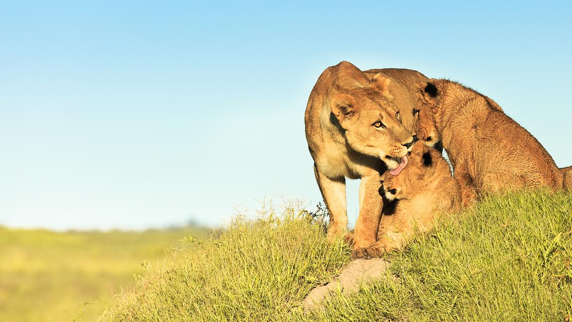 Lioness Licking Cubs