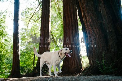 A yellow lab walking through the woods