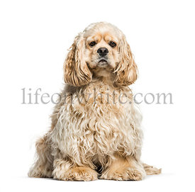 American Cocker Spaniel dog, 14 months old, sitting against white background