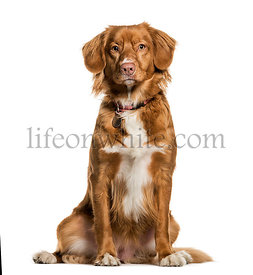 Nova Scotia Duck Tolling Retriever sitting against white background