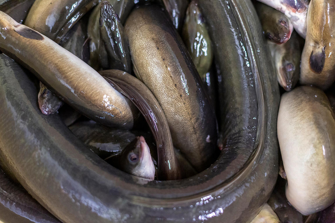 Eels waiting to be processed at Barneys Seafood