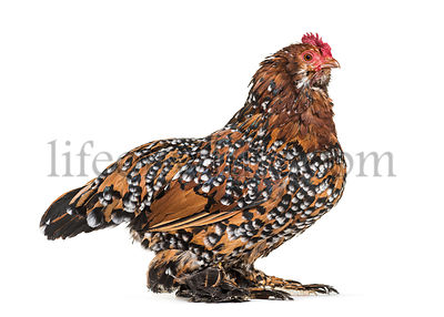The Barbu d'Uccle or Belgian d'Uccle hen, standing against white background