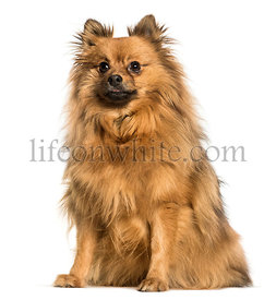 Pomeranian sitting against white background