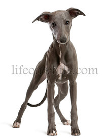 Whippet puppy, 6 months old, standing in front of white background