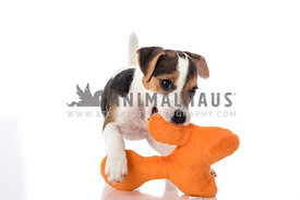 Jack Russel Terrier Puppy playing with orange plush toy on white background
