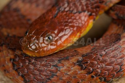 Brown-banded water snake (Helicops angulatus)