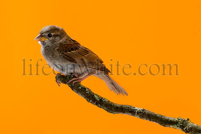House Sparrow, Passer domesticus, perched on a branch in front of an orange background